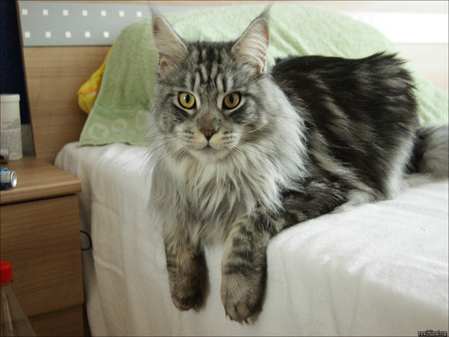 Maine Coon Cat Rescue In Parkville Md 21234 | irkincat com