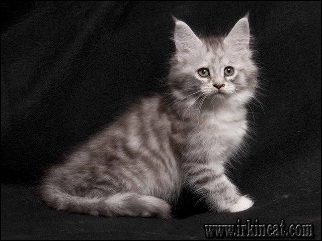 maine-coon-kittens-for-sale-michigan A Guide to Maine Coon Kittens For Sale Michigan