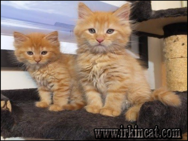 maine-coon-kittens-for-sale-near-me Maine Coon Kittens For Sale Near Me Ideas