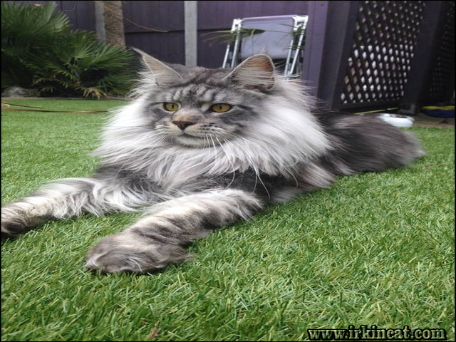Maine Coon Kittens For Sale Ohio Tips Guide Irkincat Com