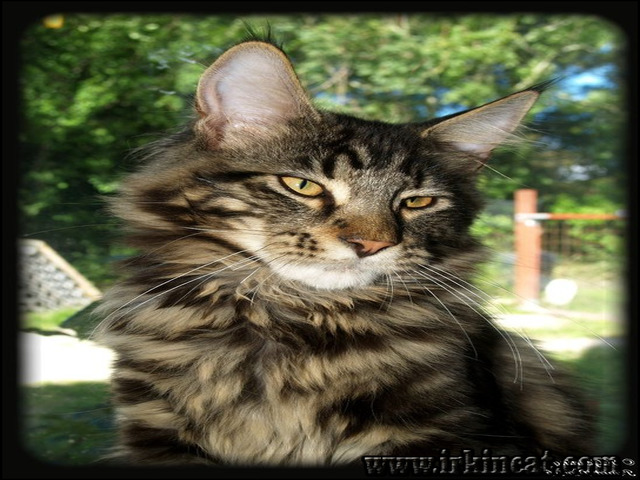maine-coon-kittens-mn Details of Maine Coon Kittens Mn