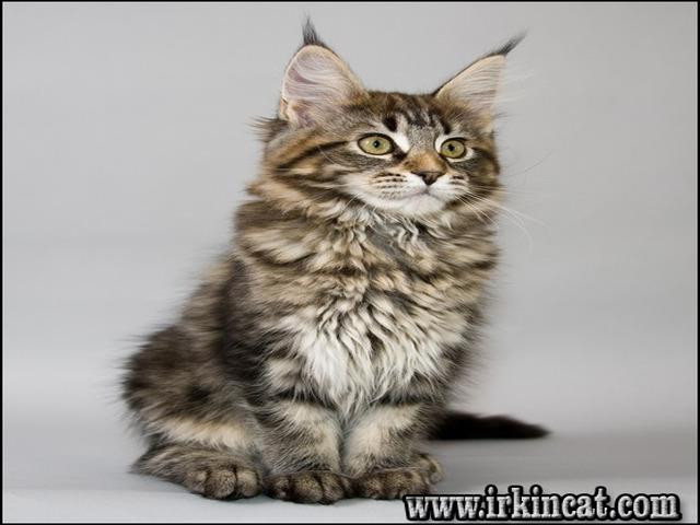 Maine Coon Kittens Fayetteville Nc Irkincat Com