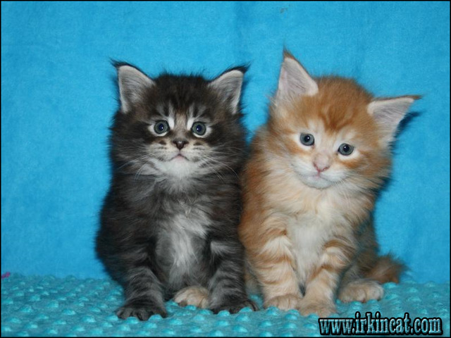 maine-coon-kittens-nj The Importance of Maine Coon Kittens Nj