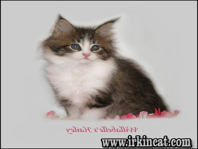 maine-coon-kittens-ohio Maine Coon Kittens Ohio - the Story