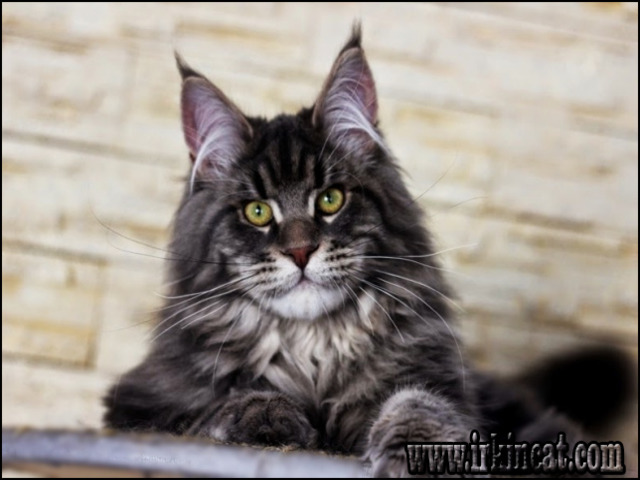 maine-coon-kittens-texas Top Maine Coon Kittens Texas Tips!