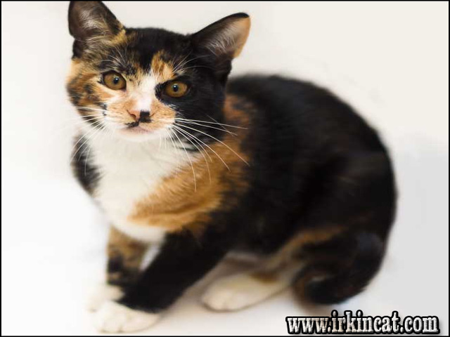 male-calico-cat-for-sale Male Calico Cat For Sale - the Story