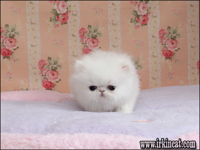 Mini Persian Cat For Sale