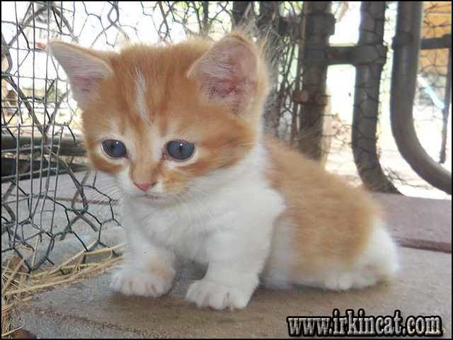 Munchkin Kittens For Sale Near Indiana Irkincat Com