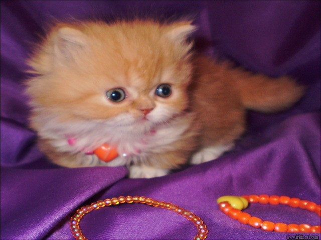 napoleon-kittens-for-sale Napoleon Kittens For Sale - Overview