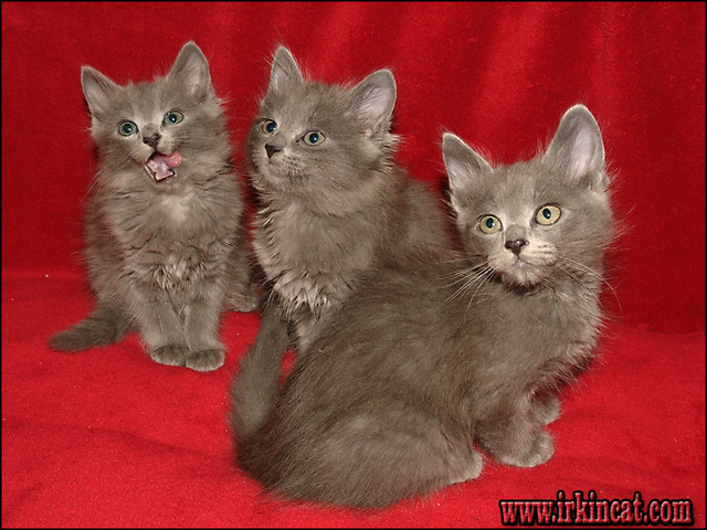 nebelung-kittens-for-sale The Ultimate Nebelung Kittens For Sale Trick
