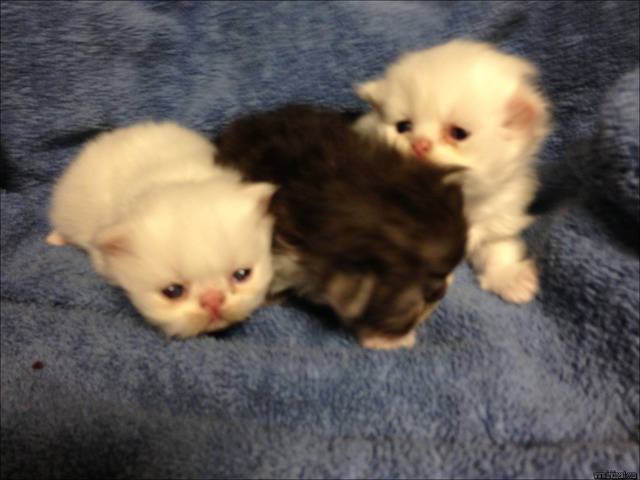 newborn-kittens-for-sale Getting the Best Newborn Kittens For Sale