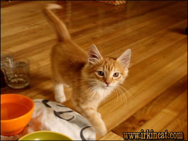 orange-kittens-for-sale Most Noticeable Orange Kittens For Sale