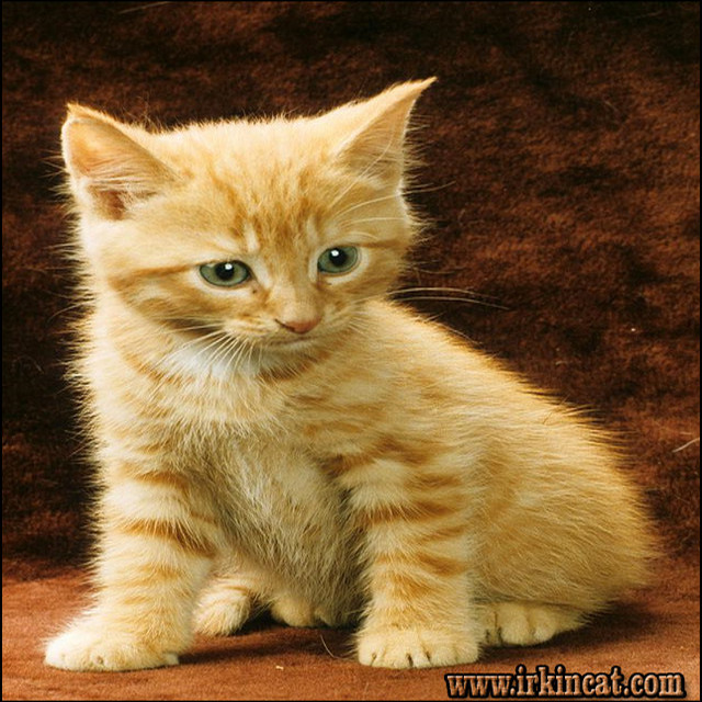 orange-tabby-kittens-for-sale The Ins and Outs of Orange Tabby Kittens For Sale and What You Should Do Today