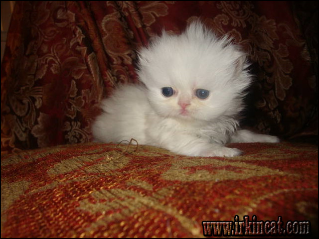 persian-kittens-for-sale-in-indiana Persian Kittens For Sale In Indiana Can Be Fun for Everyone