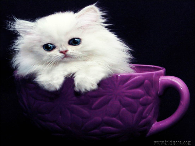 persian-kittens-for-sale-in-michigan Understanding Persian Kittens For Sale In Michigan