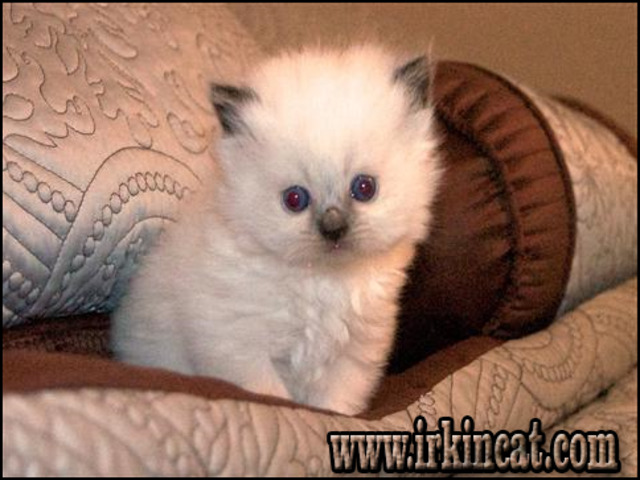 persian-kittens-for-sale-in-nc A Deadly Mistake Uncovered on Persian Kittens For Sale In Nc and How to Avoid It