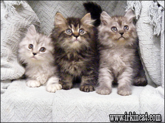 persian-kittens-for-sale-in-ny Why Everybody Is Mistaken About Persian Kittens For Sale In NY