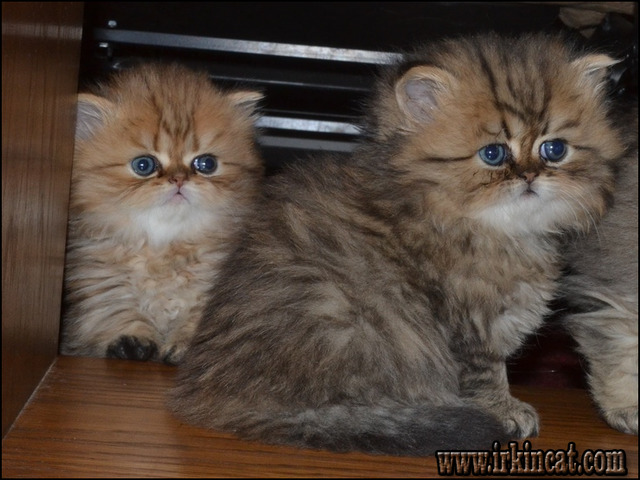 persian-kittens-for-sale-in-wisconsin All About Persian Kittens For Sale In Wisconsin