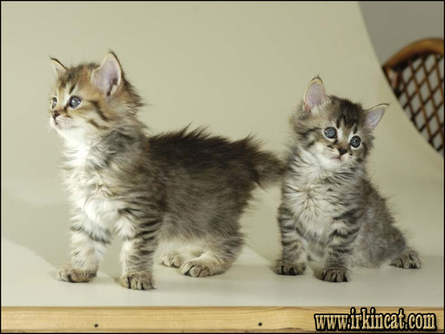 The Fundamentals of Pixie Bob Kittens For Sale That You ...