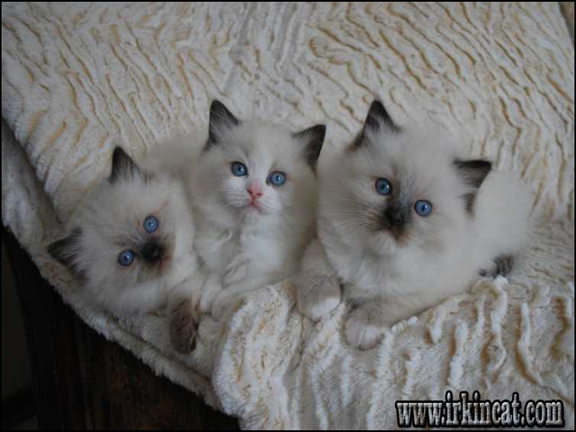 Who Is Talking About Ragdoll Kittens For Sale Craigslist And Why