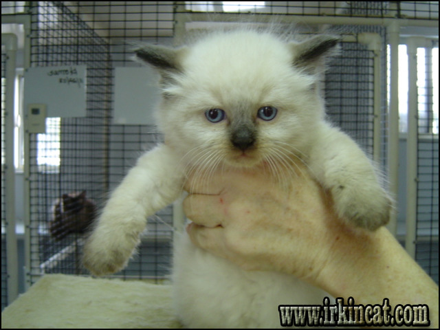 ragdoll-kittens-for-sale-in-ct What You Should Do About Ragdoll Kittens For Sale In Ct Starting in the Next Four Minutes