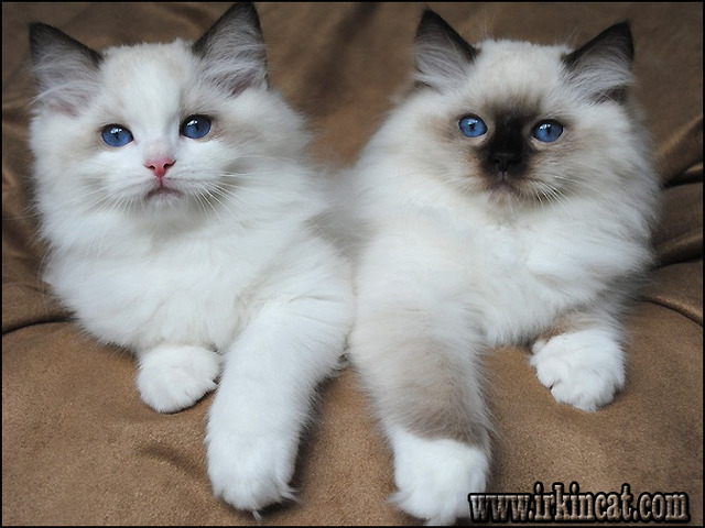 ragdoll-kittens-for-sale-in-michigan Why No One Is Talking About Ragdoll Kittens For Sale In Michigan and What You Should Do Right Now About It