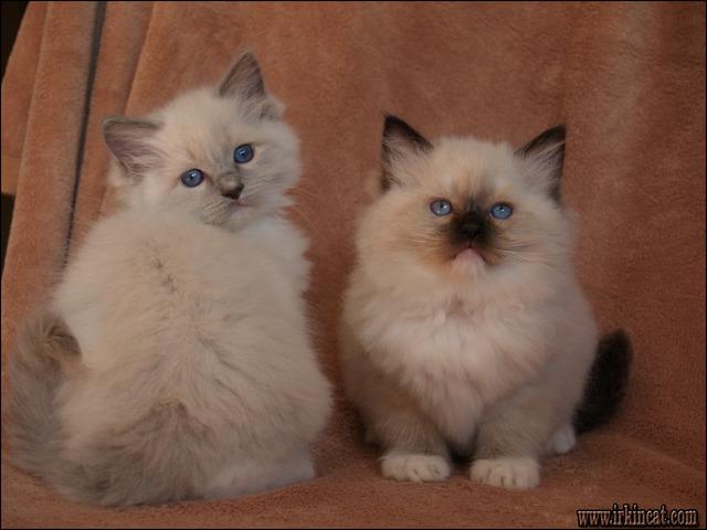 ragdoll-kittens-for-sale-in-pa A Secret Weapon for Ragdoll Kittens For Sale In Pa