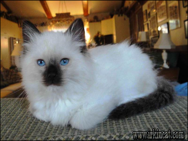 ragdoll-kittens-for-sale-in-va Unbiased Report Exposes The Unanswered Questions on Ragdoll Kittens For Sale In Va