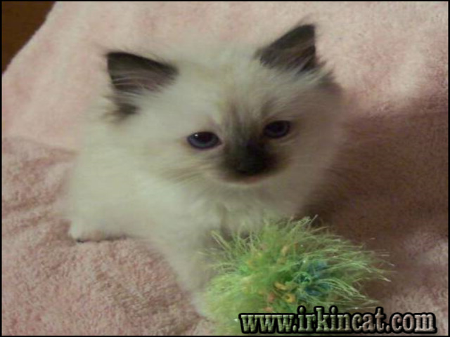 ragdoll-kittens-for-sale-indiana The Mystery of Ragdoll Kittens For Sale Indiana Nobody Is Discussing
