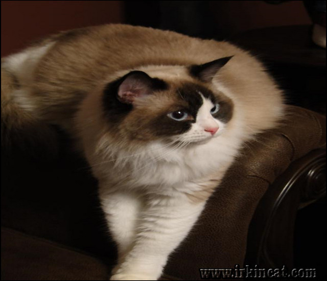 ragdoll-kittens-for-sale-nc The Number One Question You Must Ask for Ragdoll Kittens For Sale Nc