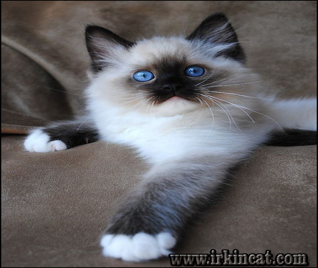 ragdoll-kittens-for-sale-near-me How to Choose Ragdoll Kittens For Sale Near Me