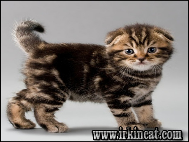 scottish-fold-kitten-for-sale What You Don't Know About Scottish Fold Kitten For Sale