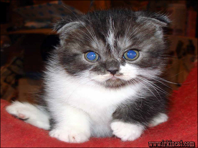 scottish-fold-kittens-for-sale-pa What Everybody Dislikes About Scottish Fold Kittens For Sale Pa and Why