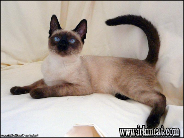 siamese-kittens-for-sale-in-ma The Appeal of Siamese Kittens For Sale In Ma