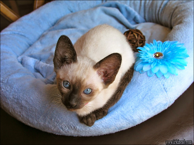 siamese-kittens-for-sale-in-pa Fraud, Deceptions, and Downright Lies About Siamese Kittens For Sale In Pa Exposed