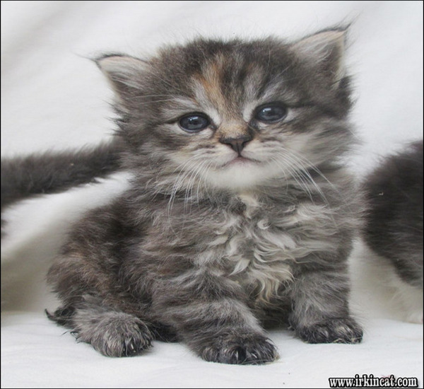 siberian-kitten-for-sale Facts, Fiction and Siberian Kitten For Sale