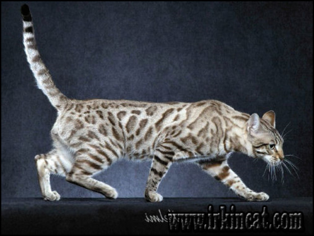 snow-bengal-cat-for-sale Introducing Snow Bengal Cat For Sale