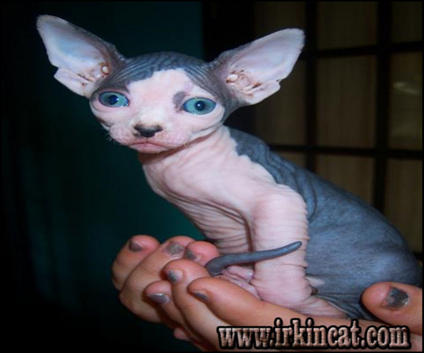 sphynx-kittens-for-sale-nj Kids, Work and Sphynx Kittens For Sale Nj