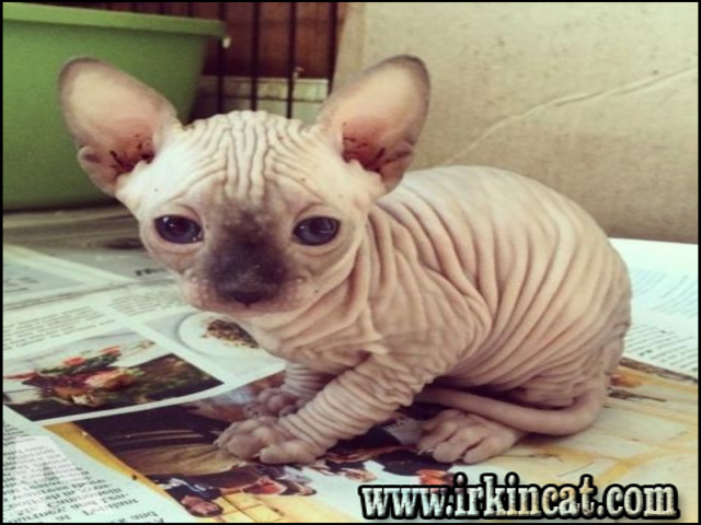 sphynx-kittens-for-sale-ny The Upside to Sphynx Kittens For Sale NY