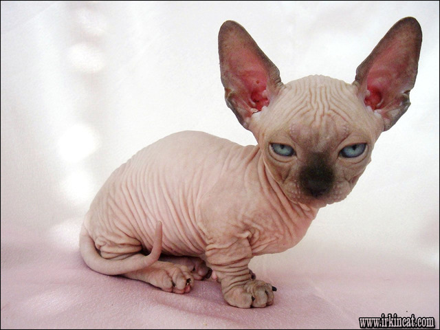 sphynx-kittens-for-sale-pa How to Choose Sphynx Kittens For Sale Pa