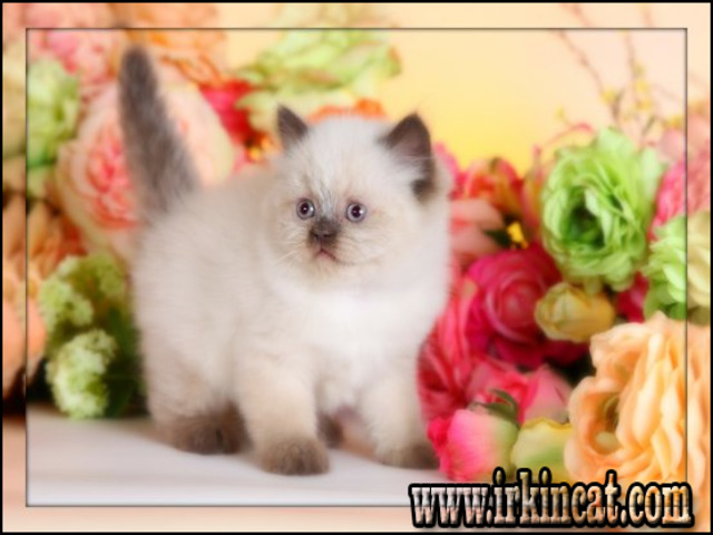 Detailed Notes on Teacup Himalayan Kittens For Sale in Simple Step ...
