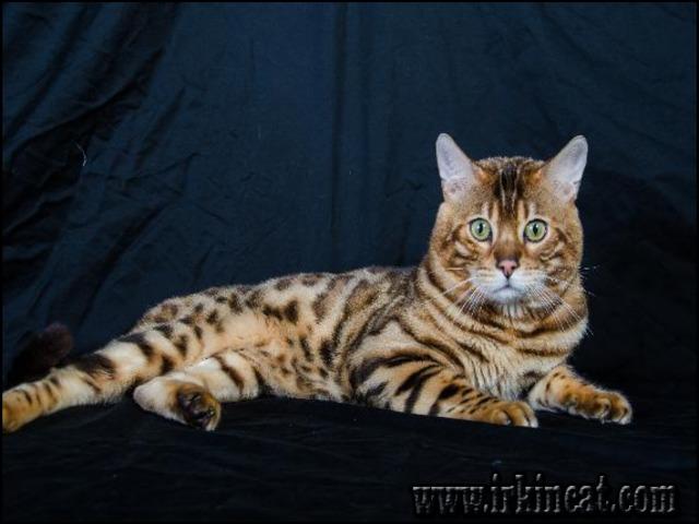 tiger-kittens-for-sale The Hidden Gem of Tiger Kittens For Sale