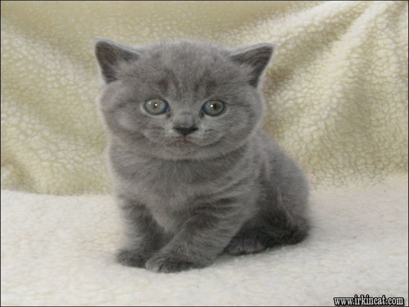 british-shorthair-kittens-price Buying British Shorthair Kittens Price