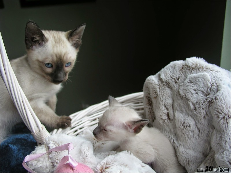 free-kittens-lancaster-pa The Ultimate Strategy to Free Kittens Lancaster Pa