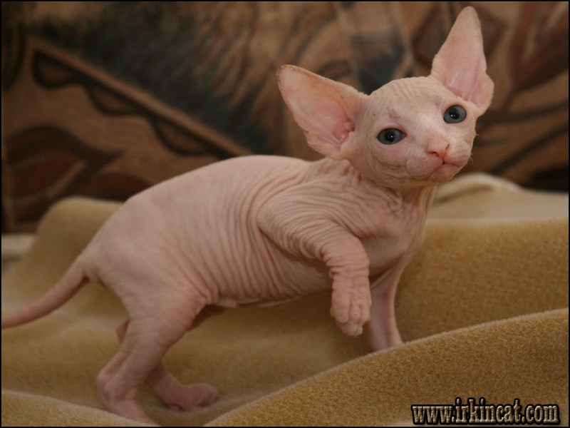 hairless-kittens-for-adoption The Number One Question You Must Ask for Hairless Kittens For Adoption
