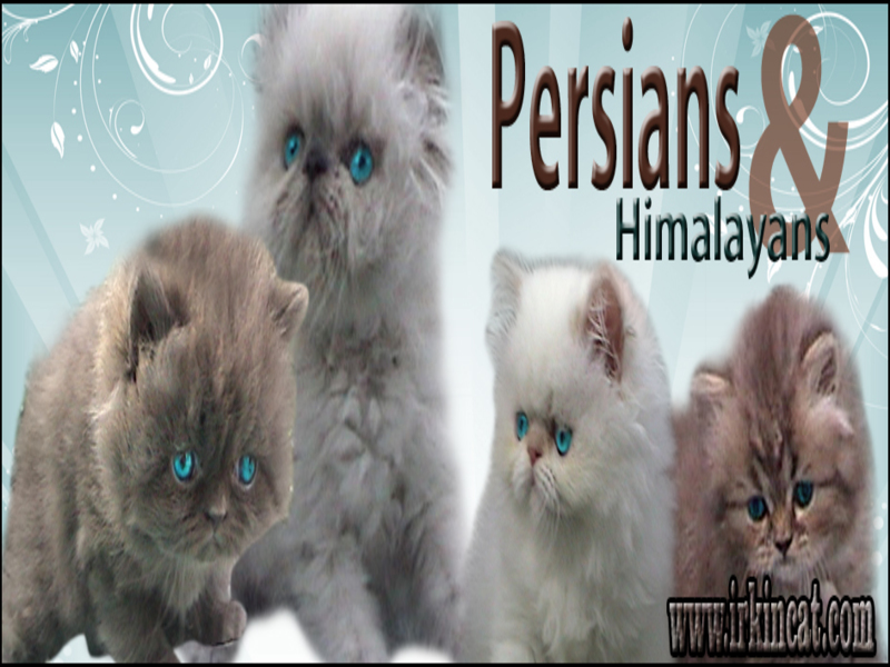 himalayan-kittens-for-adoption New Step by Step Roadmap for Himalayan Kittens For Adoption