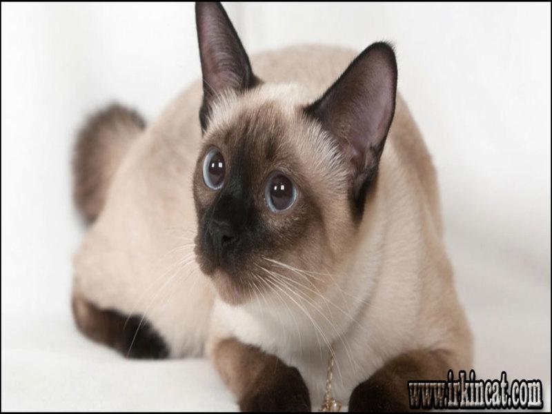 how-much-are-siamese-cats How Much Are Siamese Cats: No Longer a Mystery
