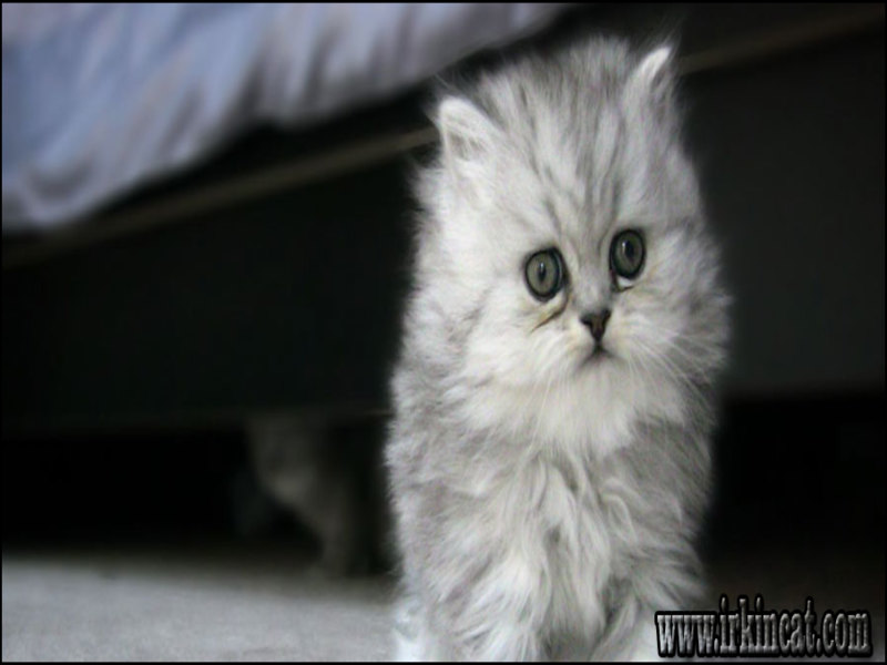 how-much-is-a-persian-cat A Deadly Mistake Uncovered on How Much Is A Persian Cat and How to Avoid It