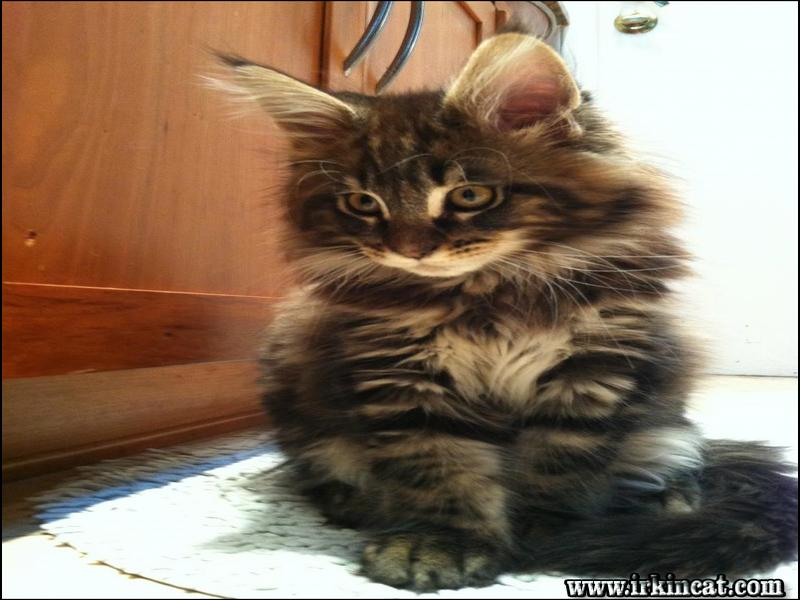 maine-coon-breeders-ohio What to Expect From Maine Coon Breeders Ohio?