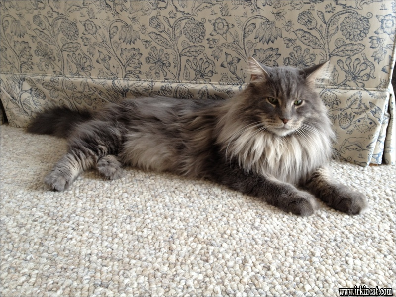 maine-coon-kittens-az Productive Tips for Maine Coon Kittens Az You Can Use Starting Immediately